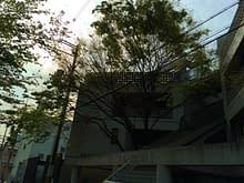 平野区Tマンションのケヤキの剪定作業施工前