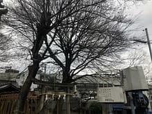 大阪市平野区 神社 強剪定 伐採工施工前