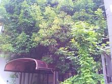 阿倍野区T様 伸びすぎたアラカシの伐採施工前