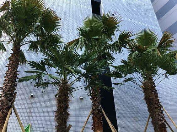 大阪市中央区 ホテル植栽工事 南国風 植栽