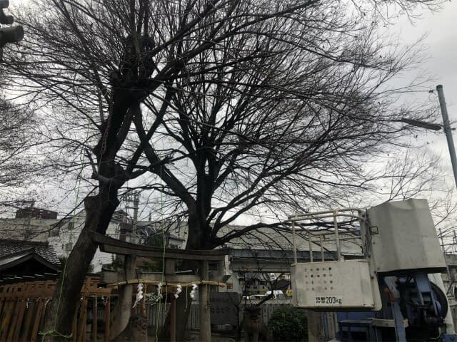 大阪市平野区 S神社 伐採工  強剪定の画像